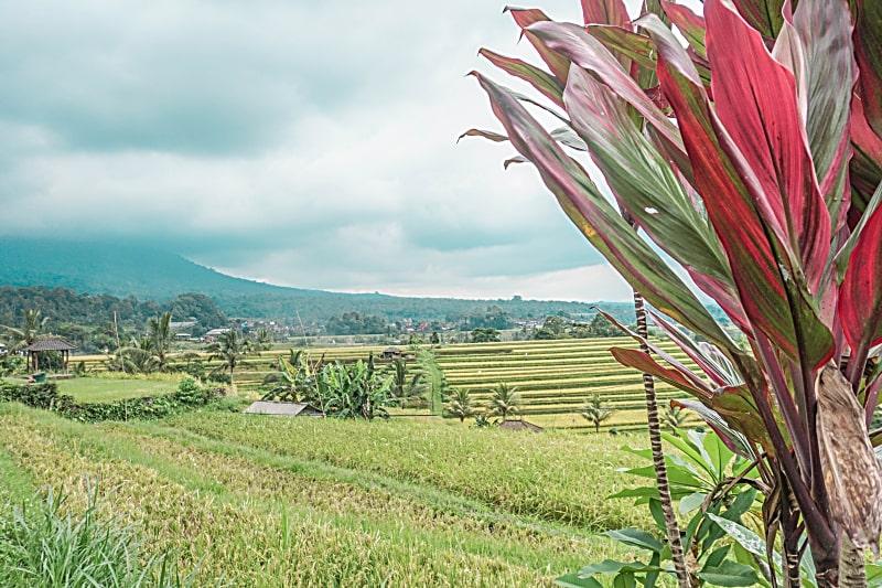 Reasons to Return To Bali - Bali rice fields